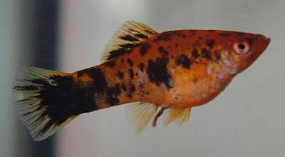 http://stajniatrot.pl/images/zwierz/rybki/mieczyk.jpg